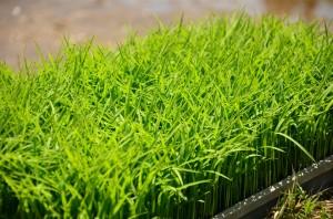 新潟清酒づくりを知る『酒米の田植え体験』に参加してきました