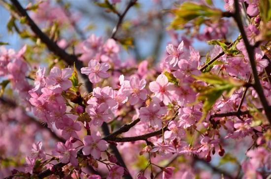所々に葉が見えていますが咲き具合は八部咲き位。