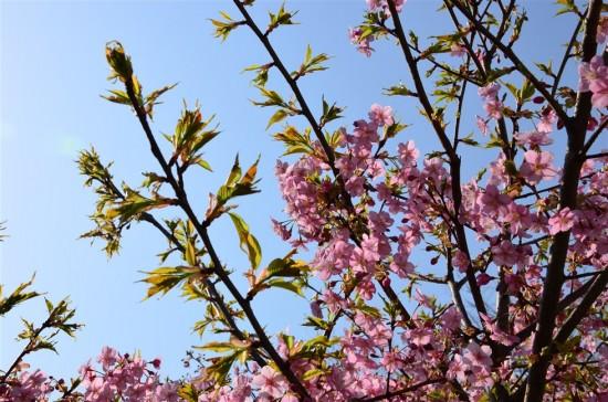 雲ひとつ無い青空で桜の桃色と葉の緑色が映えます。