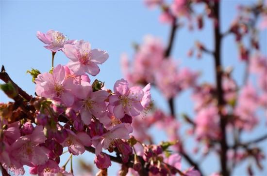 今年も綺麗な河津桜を堪能しました♪