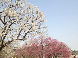 紅梅も白梅も綺麗に咲いています