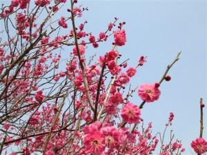 水戸の偕楽園の紅梅