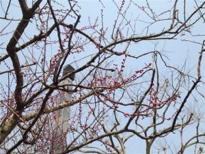 遅咲きの紅梅