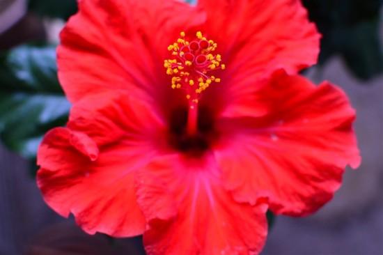 ハイビスカスの花(2013年)