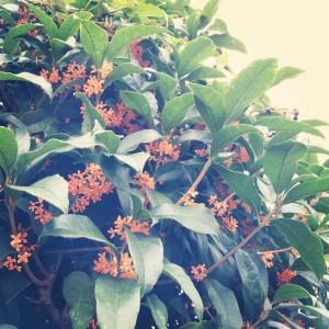 キンモクセイはモクセイ科モクセイ属の常緑小高木樹で、ギンモクセイの変種