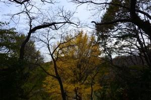 黄色く色付いた銀杏の木