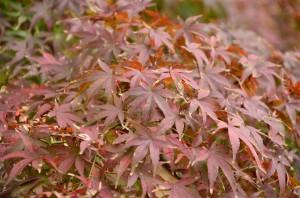 色あせた紅葉