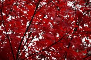 こちらは真っ赤に色付いた紅葉