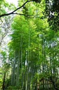 三渓園内の竹林