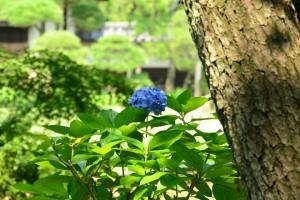 三渓園の紫陽花