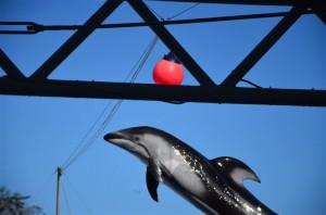 カマイルカがジャンプしてボールにアタック!18-105mm f/3.5-5.6G 絞り優先(F5.6・1/3000秒)・ISO-400
